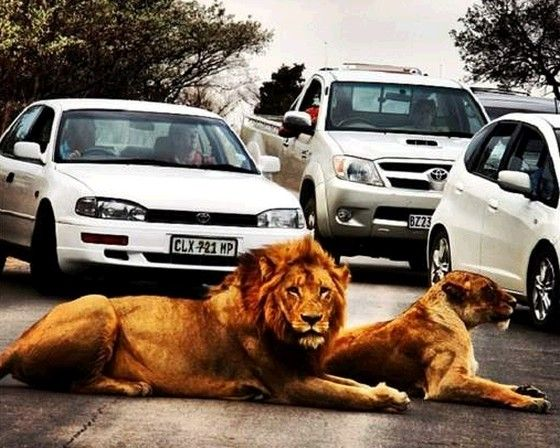 Lions Causing Traffic Jam  JOHANNESBURG – For the most part, traffic jams are caused by excessive cars on the road at the same time; not so in South Africa. For hire a car at economical prices, please visit: www.carrentaljohannesburgairport.com