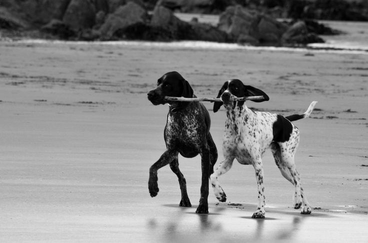 german shorthairs will forever have my heart