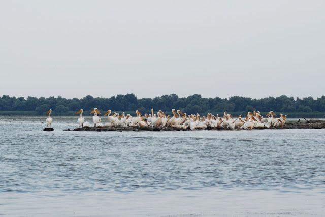 Partizani, Delta Dunării: Pelicani