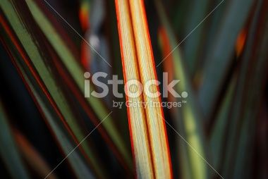 Sunlit Maori Queen Flax (Harakeke) Royalty Free Stock Photo