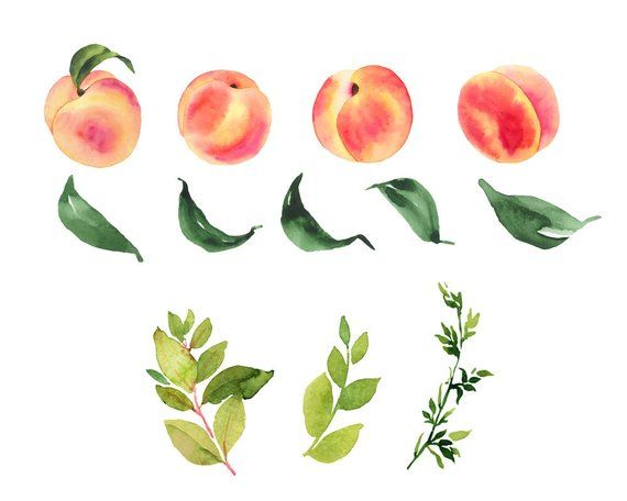 Peaches Watercolor Clipart Peaches Illustration Watercolor Fruit