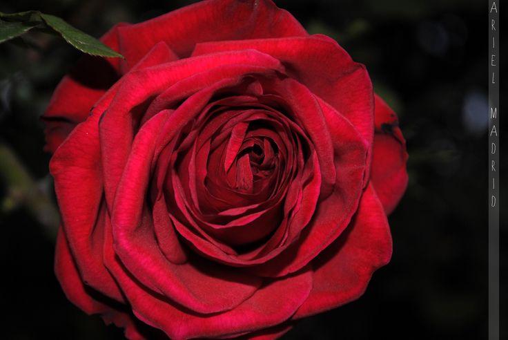 Rose Rose!!!