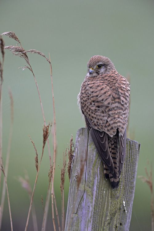 The Common Kestrel (Falco tinnunculus) is a bird of prey. It is widespread in Europe, Asia, and Africa.