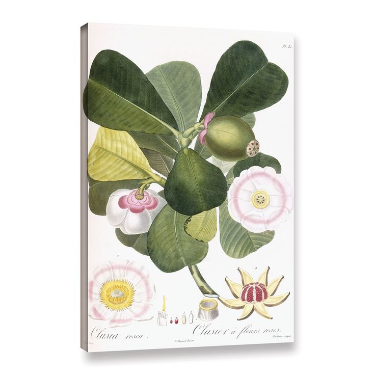 ArtWall Pierre Antoine Poiteau's Clusia rosea Clusier a fleurs roses, Gallery Wrapped Canvas