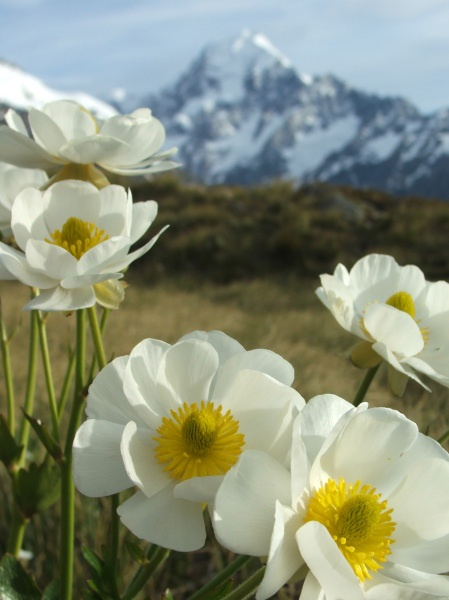Mount Cook daisies with the mountain the background