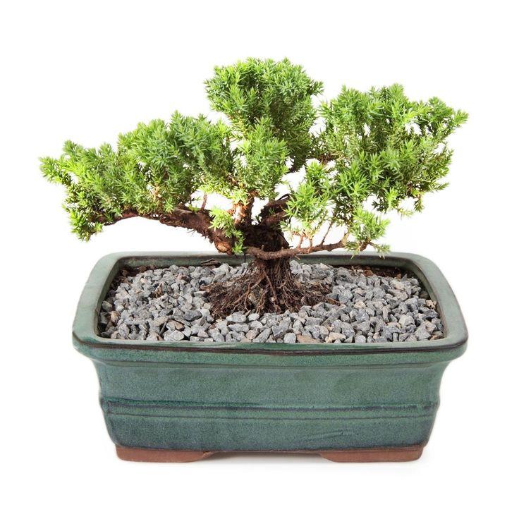 Medium Bonsai Plant in Ceramic