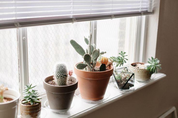 Cacti on the window sill