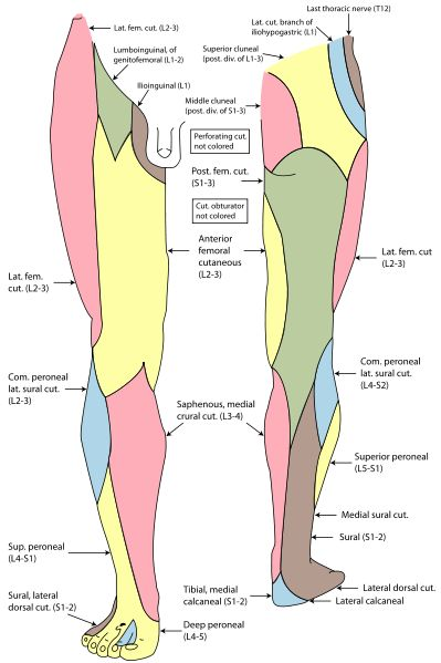 Peripheral nerve distribution of lower extremity.  File:Gray826and831.svg