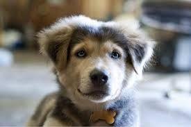 husky lab mix puppy - Google Search