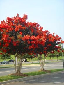 Blooms most of the summer over 100 days! Must try this tree  Red Rocket Crape Mytle