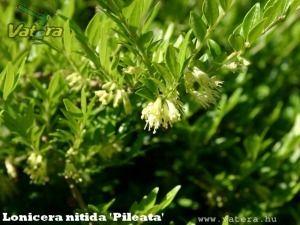 Örökzöld mirtuszlonc fajták talajtakaráshoz - 350 Ft