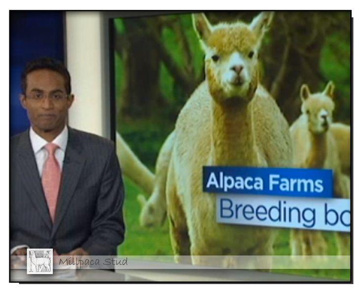 ABC 7pm News July 7th, 2014 Story titled 'Australian alpacas in high demand'.