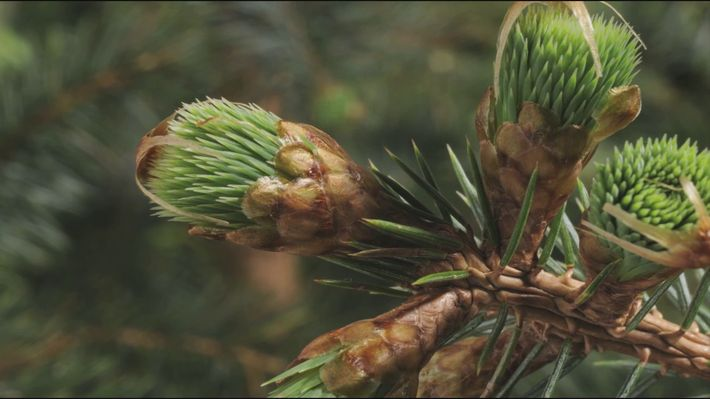 <p>Conifers (commonly known as evergreen or pine trees) have long, flat needles in place of what we often think of as plant leaves. In this time-lapse, see the budding of conifer needles in a new perspective. Use this resource to teach about plant biology or plant taxonomy.</p>