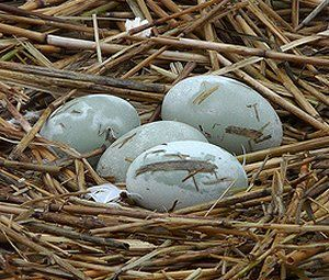 Gallery of wild bird nests and eggs: Mute swan nest: Male and female mute swans work together to build a mound-shaped nest of assorted plant materials lined with feathers and down. Nests are often build on isolated islands, along shorelines and near sources of water while still being concealed and isolated from both humans and predators. The eggs are 4.5 inches long and a light gray or blue color.
