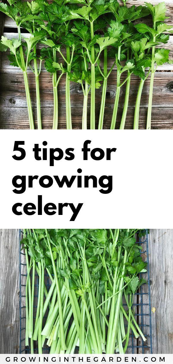 Fünf Tipps für den Anbau von Sellerie