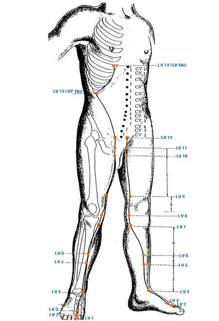 Меридиан печени - Triquetra Технологии Здоровья|Традиционная китайская медицина и цигун