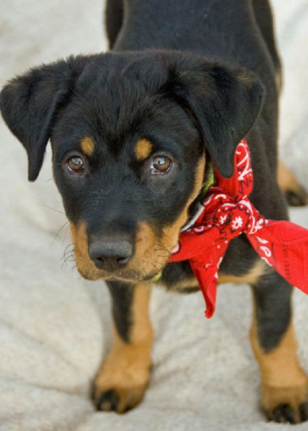 rottweiler mix puppies for sale | Zoe Fans Blog