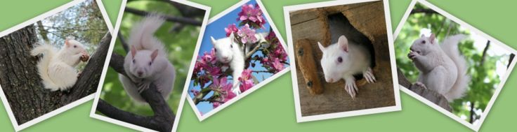 Home Of The White Squirrel | white squirrels home visitors white squirrels email print