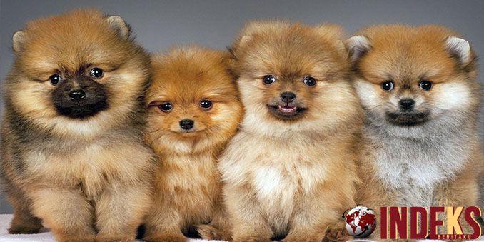 Cara Memelihara Anjing Pomeranian