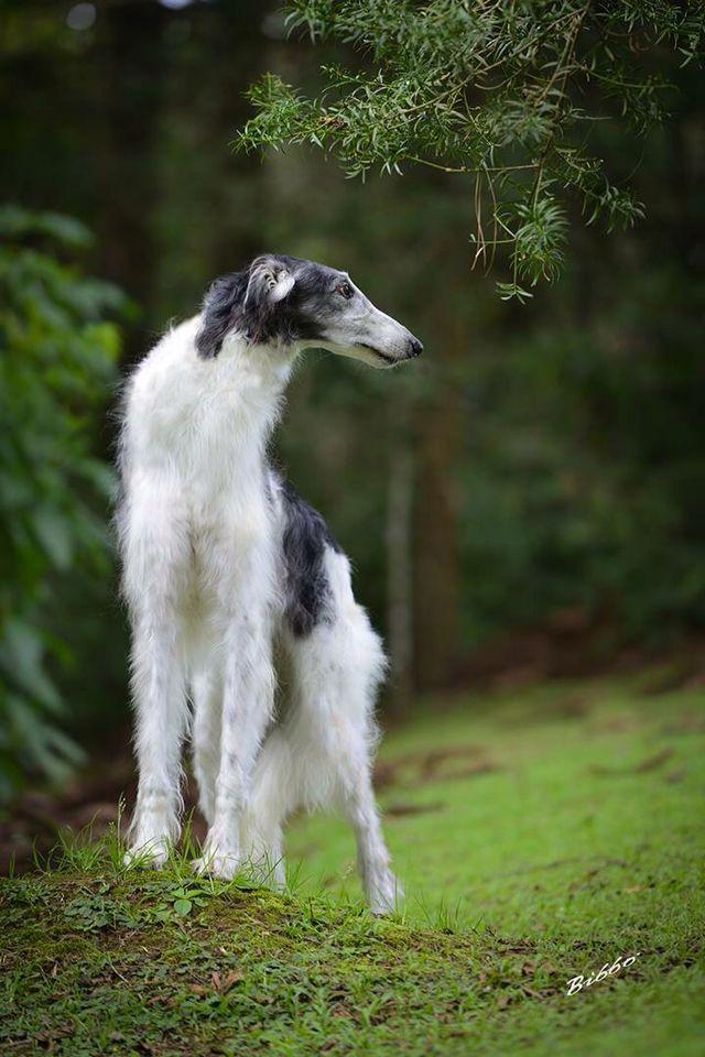"Borzoi named ""Constantino"". #animals #dogs"
