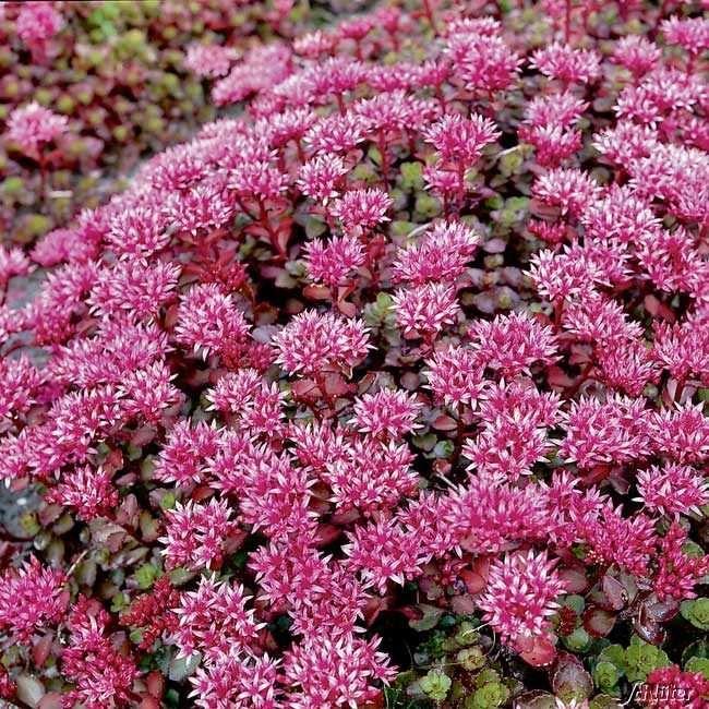 Teppich Fettblatt Fuldaglut Pflanzen Mittagsblume Dachbegrunung