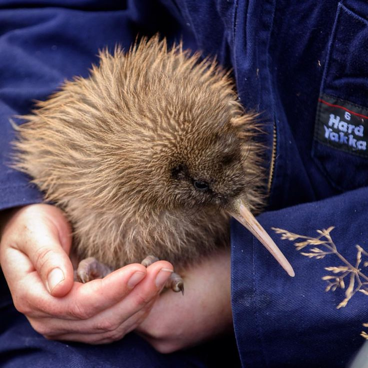 "Leon Berard en Instagram: ""Tipu, a #baby haast tokoeka #kiwi, looking forward to getting a new electronic #ankle #bracelet at @orokonui_ecosanctuary #dunnerstunner #neature #birdingphotography #birdsofinstagram #newzealand #birds #wildlife #kiwipics #nature #conservation #nzmustdo #destinationnz #purenewzealand @docgovtnz @purenewzealand @dunedinnz @dunedincity @nzgeo"""