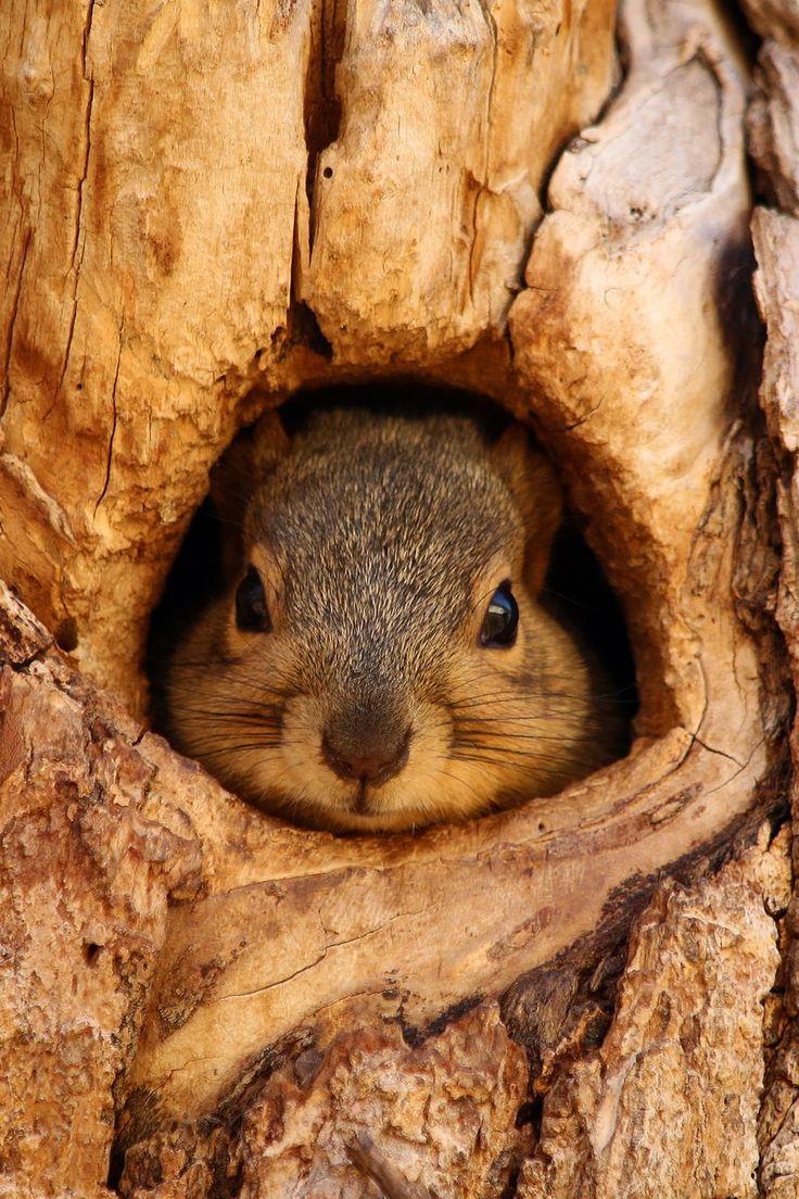 petit écureuil bien à l'abri dans un tronc d'arbre - #pet