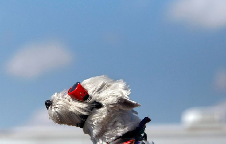 Dog with goggles riding Harley Davidson #spring