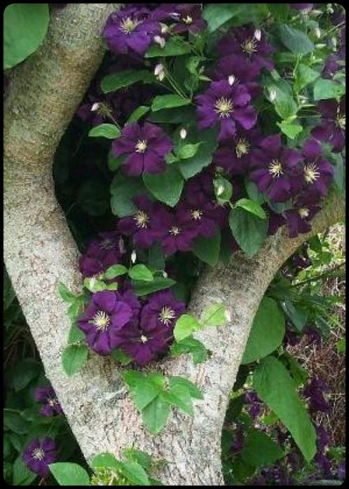 clematis @Misty Beesley.tumblr