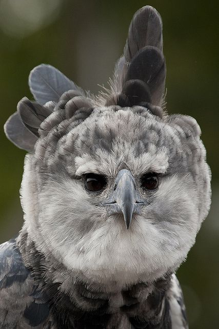 Toruk the harpy #eagle - Early South American explorers named these great birds after Harpyja, the predatory half-woman, half-bird monster of Greek #mythology.
