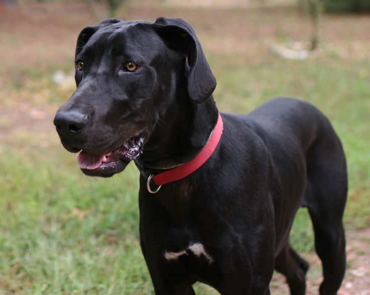 Great Dane dog for Adoption in Eureka Springs, AR. ADN-666965 on PuppyFinder.com Gender: Male. Age: Young