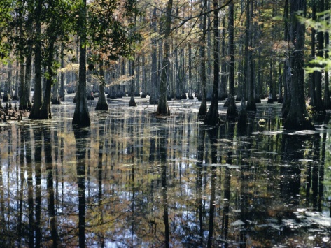 Cypress Swamp, Cypress Gardens, North Charleston, South Carolina, USA