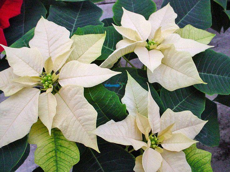 Sačuvajte božićnu zvijezdu, jer ona je biljka koja voli toplinu i svjetlost, a optimalna temperatura uzgoja je 15-20 stupnjeva Celzijusa.