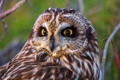 Coruja do Nabal (Asio flammeus) (Fernando Delgado) Tags: corujadonabal coruja owl asioflammeus shortearedowl riaformosa algarve portugal parquenaturalriaformosa naturalpark birds birdwatching