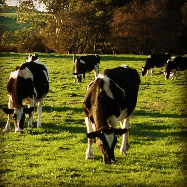 As if dairy farmers need more to worry about - we're now seeing a few cases of nitrate poisoning. It can be fatal so please keep an eye out for symptoms which include muscle tremors heavy saliva and blue discolouration of the mouth. #dairylove #nitratepoisoning #warning #veterinary #clinics #timboon #simpson #allansford #warrnambool by thevetgroupdairyfarm