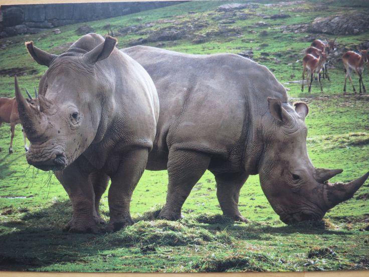 rhinos at Kolmården - SENT TO THE US September 2017