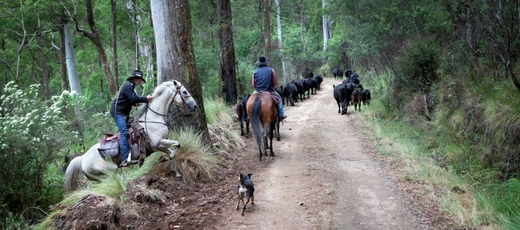 Mustering VIC high country