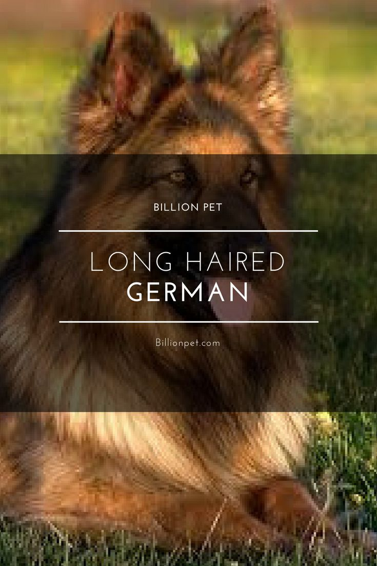 long haired german #germanshepherd