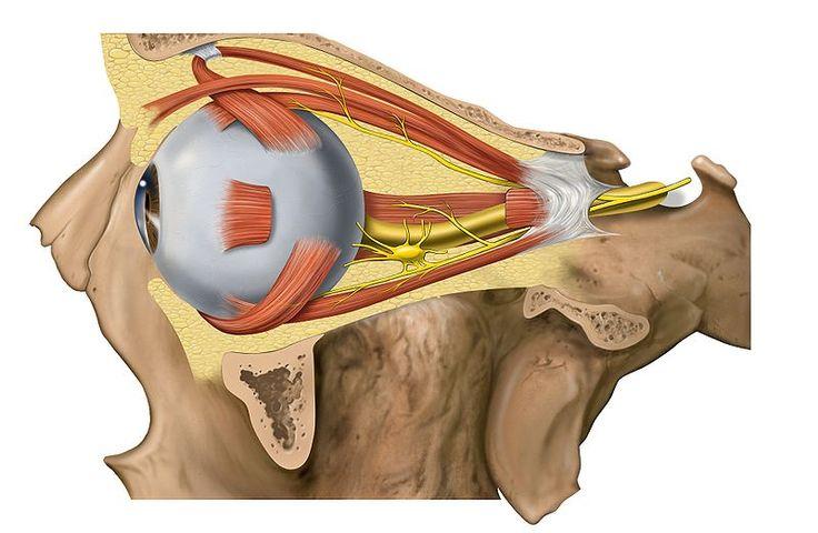File:Lateral orbit anatomy 2.jpg