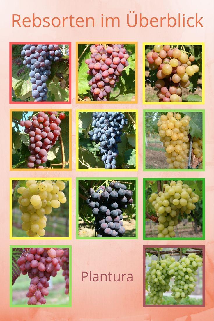 Rebsorten gibt es in allen Größen, Farben und Geschäckern. Hier eine kleine Liste der bewährtesten Trauben: