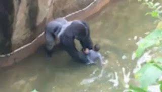 en directo: Matan Gorila en EE.UU para salvar a un niño que ca...