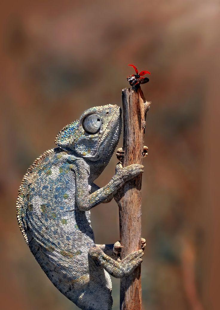 219 Best Images About Chameleon On Pinterest Carpets