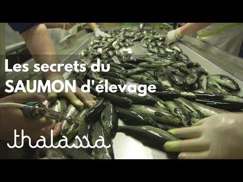 Les secrets du saumon d'élevage (reportage complet) - YouTube