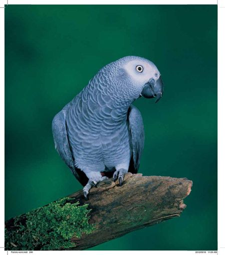 We review the book: Parrots of Africa, Madagascar and the Mascarene Islands by Mike Perrin with photos by Cyril Laubscher - a long overdue and proud addition to anyone's coffee table.