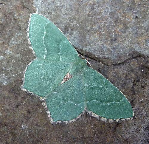 Common Emerald. Hemithea aestivaria | by gailhampshire