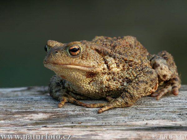 Ropucha obecná (Bufo bufo) . zavalitá žába s bradavičnatou kůží.