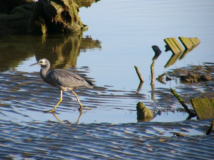 A Blue Heron at Surait Bay, Owaka  in the Catlins area, Southland NZ