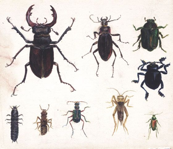 beatrix potter, studies of nine beetles