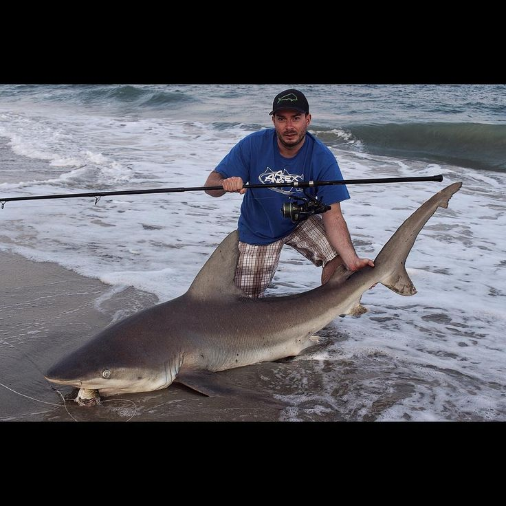 with a beautiful sandbar shark he caught and released from the surf. It's a gre... - https://northeast.skifflife.com/103621/with-a-beautiful-sandbar-shark-he-caught-and-released-from-the-surf-its-a-gre-2/