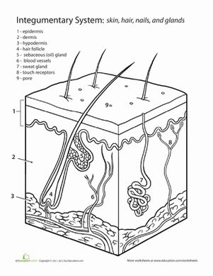 Middle School Life Science Worksheets: Inside-Out Anatomy: The Integumentary System